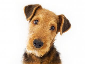 Airedale Terrier Dog Breed Overview and Photos