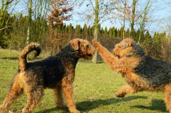 Airedale Terriers playing on grassy field