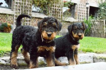 Black and tan Airedale Terrier puppies