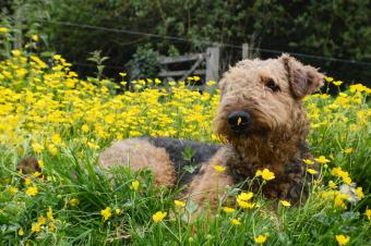 Airedale Terrier sitting amidst flowering plants