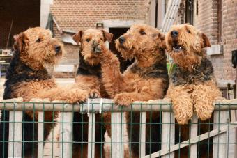 Airedale Terriers rearing up on fence