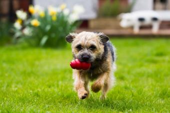 border terrier running with toy