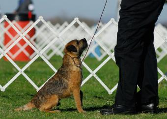 border terrier looks up at master