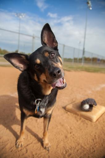Kelpie on baseball field