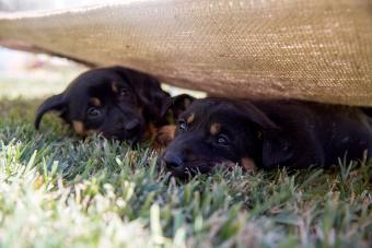 Two Australian Kelpie puppies