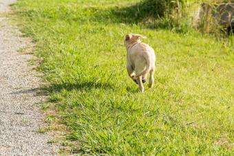 Naughty dog running away