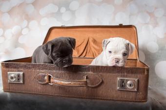 https://cf.ltkcdn.net/dogs/images/slide/232896-850x567-2-suitcase-puppies.jpg