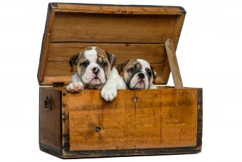 https://cf.ltkcdn.net/dogs/images/slide/232968-850x567-8-box-of-bullgog-puppies.jpg
