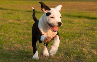 American Staffordshire Terrier Breed Overview