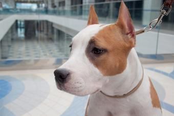 American staffordshire terrier health concerns