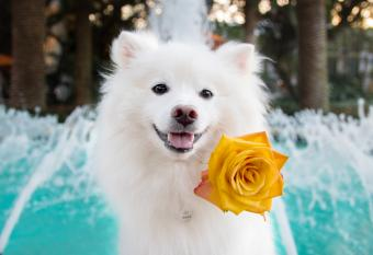American Eskimo Dog Breed Overview and Pictures