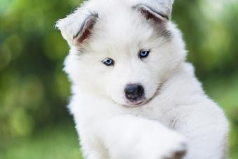 Cute American Eskimo puppy