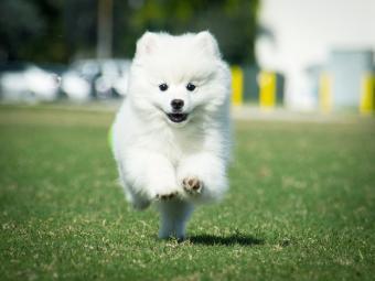 Mini Eskimo dog running agility course