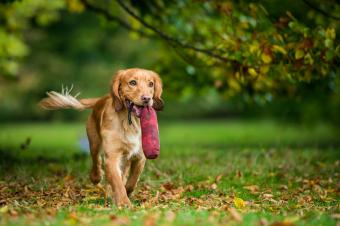How English Cocker Spaniels Differ From Their American Cousins