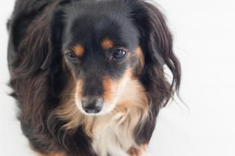 Dameranian Puppy Care and Breed Overview
