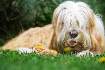 https://cf.ltkcdn.net/dogs/images/slide/234633-850x567-dog-eating-corn.jpg