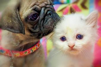 https://cf.ltkcdn.net/dogs/images/slide/234647-850x567-3-pug-puppy.jpg