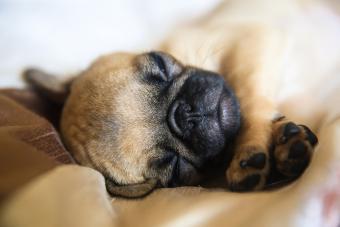 https://cf.ltkcdn.net/dogs/images/slide/234648-850x567-4-pug-puppy.jpg