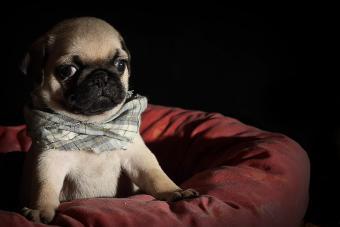 https://cf.ltkcdn.net/dogs/images/slide/234652-850x567-7-pug-puppy.jpg