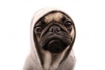 https://cf.ltkcdn.net/dogs/images/slide/234654-850x567-9-pug-puppy.jpg