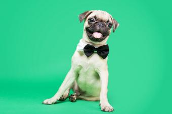 https://cf.ltkcdn.net/dogs/images/slide/234655-850x567-10-pug-puppy.jpg