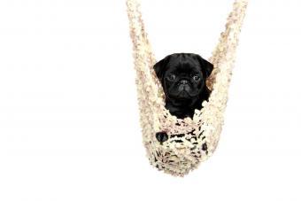https://cf.ltkcdn.net/dogs/images/slide/234660-850x567-14-pug-puppy.jpg