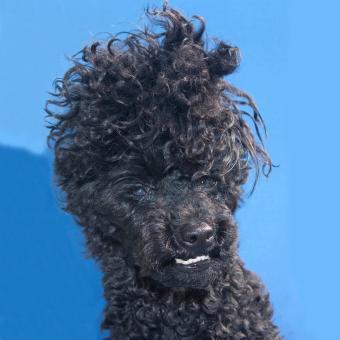 https://cf.ltkcdn.net/dogs/images/slide/234814-850x850-1-poodle-bad-hair.jpg