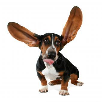 https://cf.ltkcdn.net/dogs/images/slide/234815-850x850-2-basset-hound-big-ears.jpg