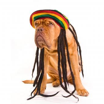 https://cf.ltkcdn.net/dogs/images/slide/234816-850x850-3-bordeaux-dog-dreadlocks.jpg