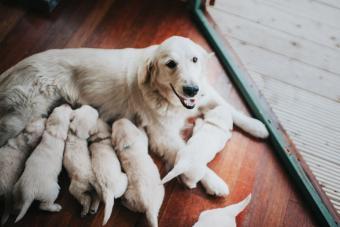 Golden Retriever with litter of puppies