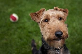 Pictures of Welsh Terriers