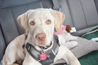 Dog Harness Options for Canine Arthritis
