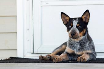 Black Blue Heeler Puppy