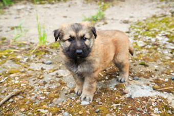 Cute fluffy Caucasian shepherd puppy