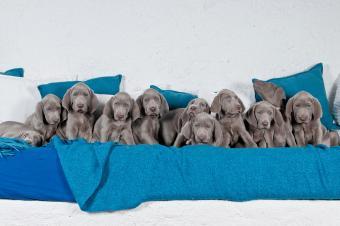 Eleven Weimaraner puppies in a row