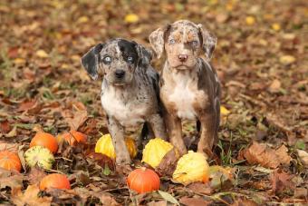 Catahoula puppies