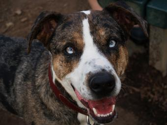 Catahoula with glass eyes