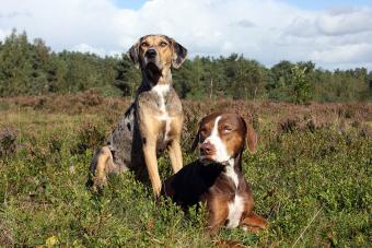 Catahoulas in the field