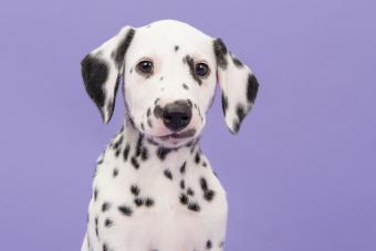 Close-up portrait of dalmatian puppy