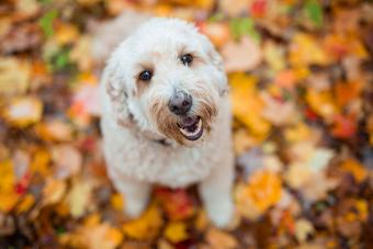 30 Popular Poodle Mixes: Choosing the One for You