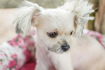 Pomapoo is Pomeranian and Poodle Mix