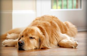 Canine Pain Relief: Medication and Holistic Options