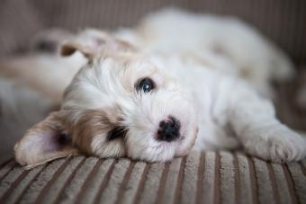 Cavachon puppy lying on couch