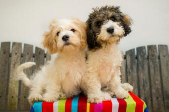 Two Cavachon pups on table