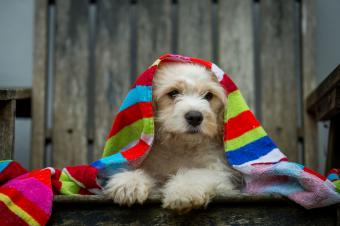 Cavachon puppy draped in a towel