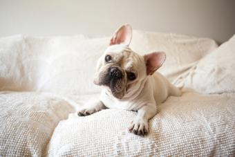 Adult French Bulldog