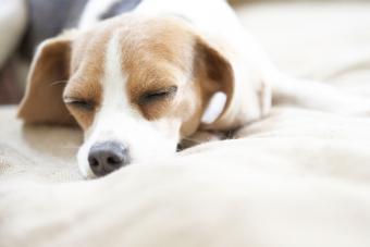 Pocket Beagle puppy