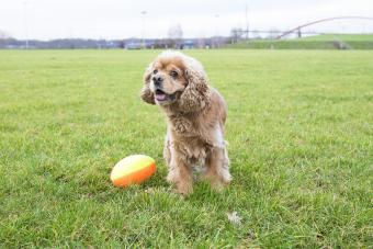 American cocker spaniel with rugby ball