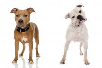 American Pit Bull Terrier and American Bulldog