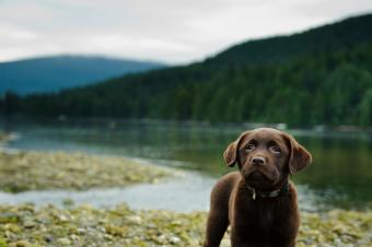 https://cf.ltkcdn.net/dogs/images/slide/238454-850x566-chocolate-lab-near-lake.jpg